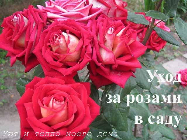uhod za rozami v sadu