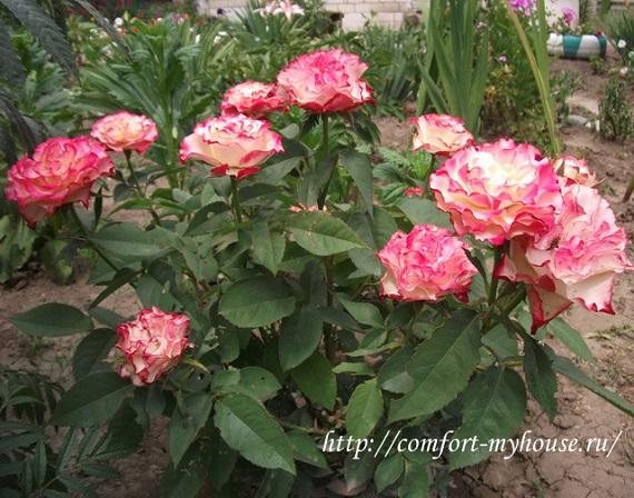 роза испанский танец (4)