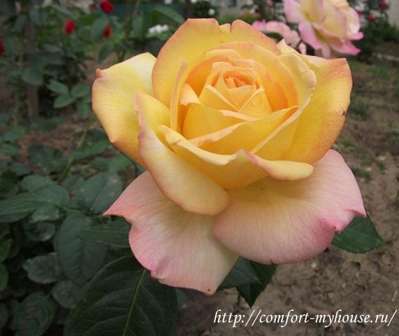 розы в саду фото (15)