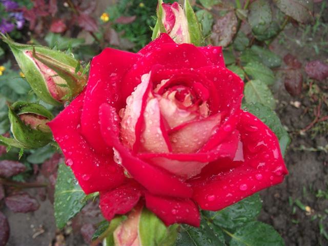 roza posle dozhdja
