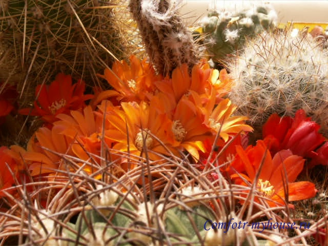 cvetushhie kaktusy