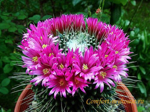 pochemu ne cvetet kaktus