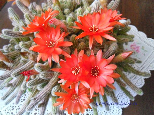 cvetenie kaktusov