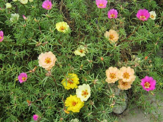 cvety portulak