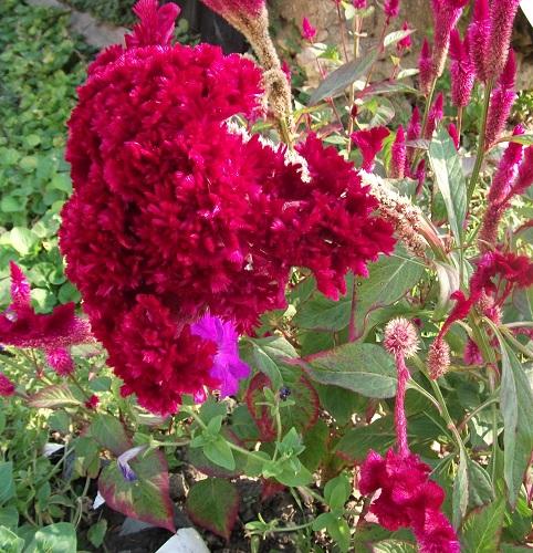 cvetushhaja cellozija