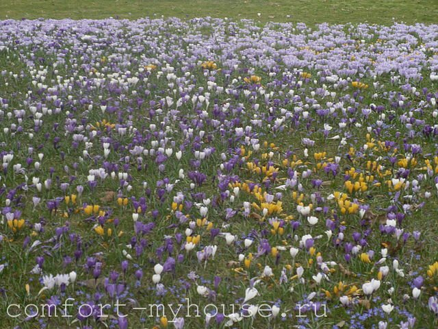 cvety krokusy