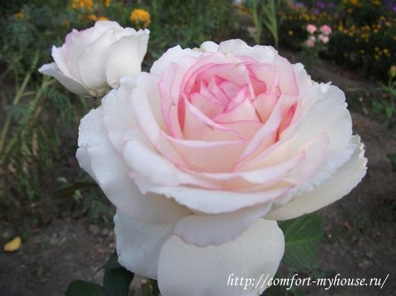 розы в саду фото (8)