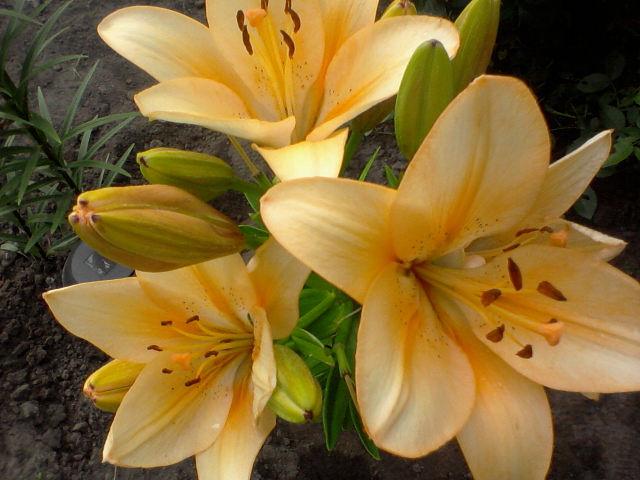 cvety lilii