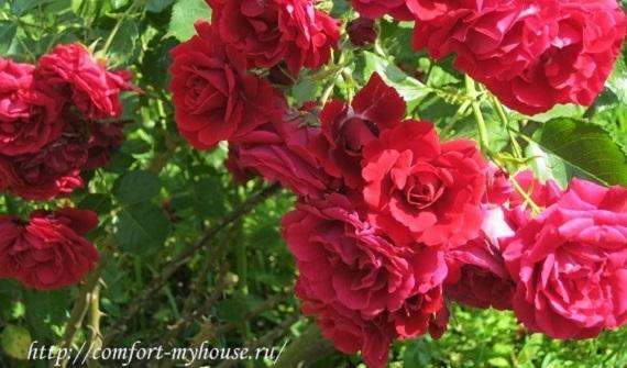 kak vyrastit' rozy iz cherenkov