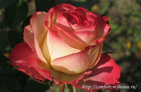 roza ispanskij tanec