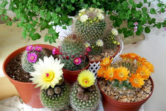 semejstvo cvetushhih kaktusov