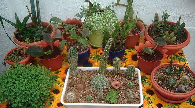 kaktusy v malen'koj posude
