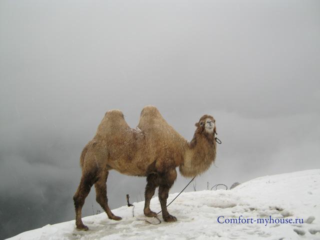 verbljud v gorah Dombaja