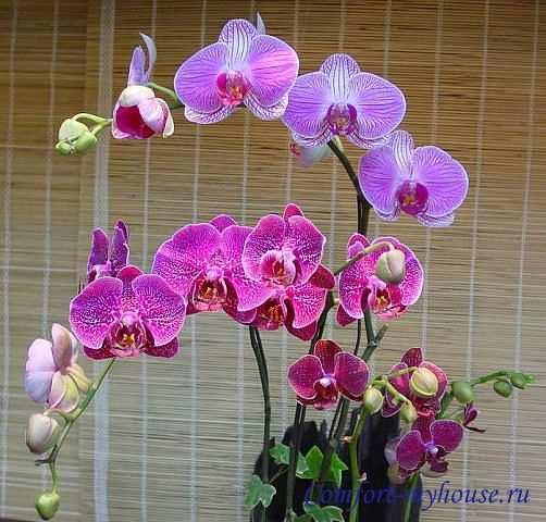 krasivaja orhideja