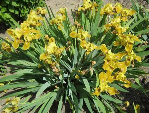 nizkoroslye irisy
