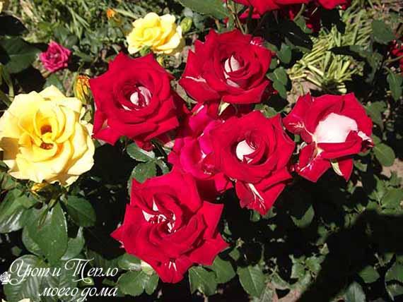 bordovaya i zheltaya rozy