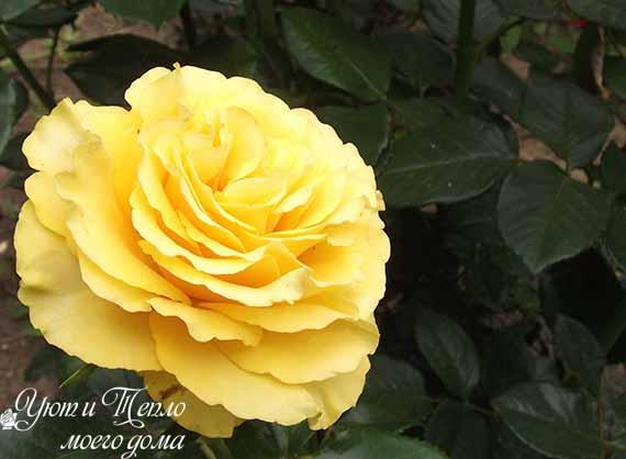 buton zheltyh roz