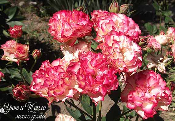 butony roz ispanskij tanecz