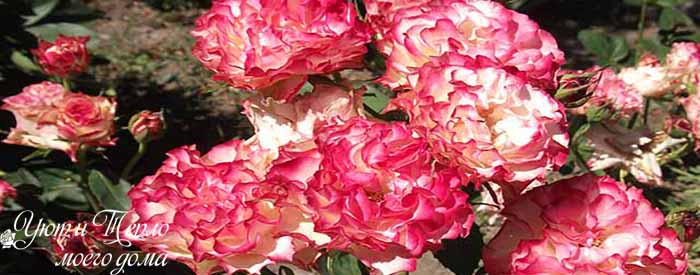 foto czvetov rozy