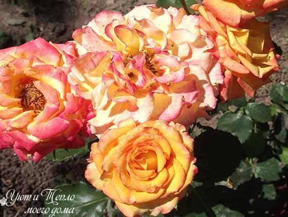 krasivye pestrye rozy