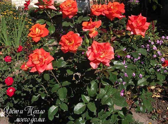 kust oranzhevyh roz