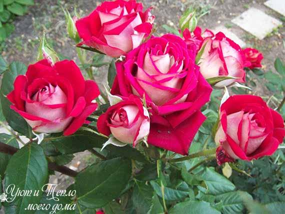 roza Kronenburg