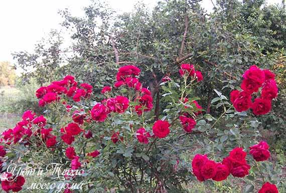 roza pletistaya
