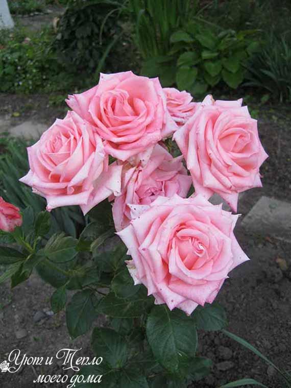 roza rozovaya