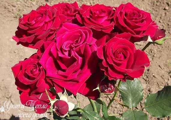 rozy bordovye
