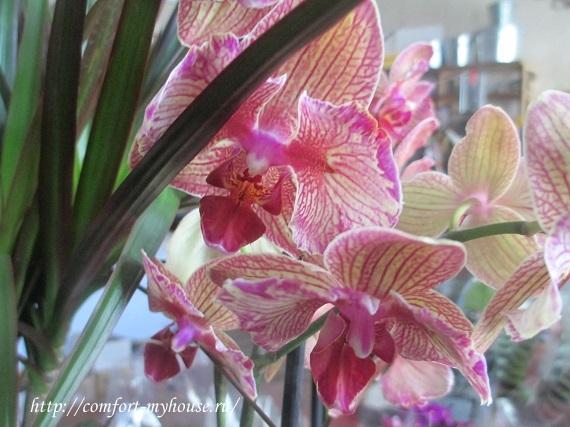 komnatnye orhidei