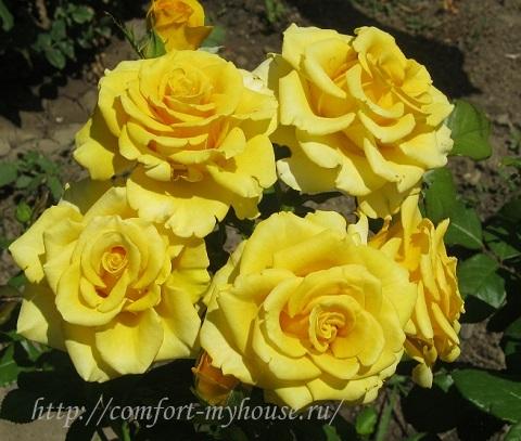 koroleva cvetov - zheltaja roza