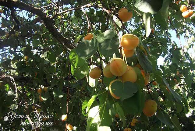 vetka s abrikosami