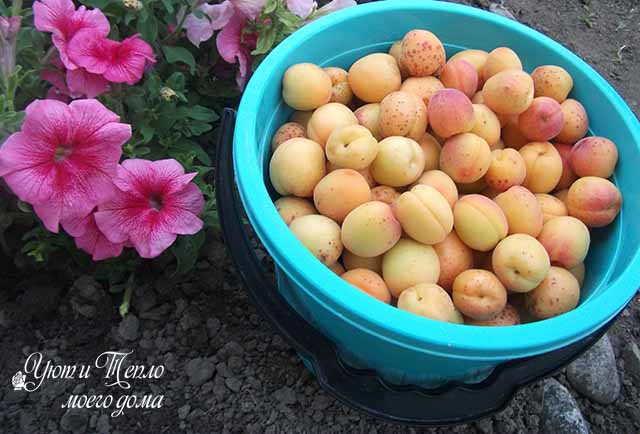 vedro abrikosov