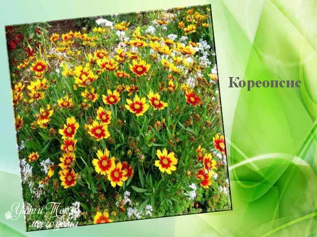 koreopsis